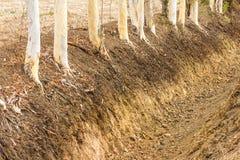 Trockene Eukalyptusbaumwurzeln Lizenzfreie Stockfotos