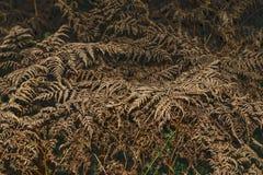 Trockene Farnblätter auf einem dunklen Hintergrund Lizenzfreies Stockbild