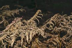 Trockene Farnblätter auf einem dunklen Hintergrund Lizenzfreie Stockfotos