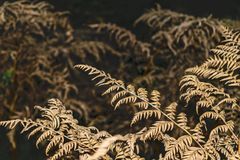 Trockene Farnblätter auf einem dunklen Hintergrund Stockfoto