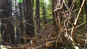 Trockene Fichtenzweige gestapelt im Haufen und in den Spinnennetzen eingewickelt stock video