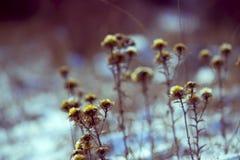 Trockene gelbe Blume im Schnee Stockfotos