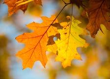 Trockene gelbe von Eichenholz Blätter auf einer Niederlassung Stockfotografie