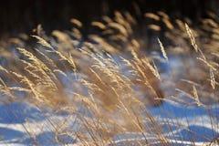Trockene Gräser stockfoto