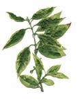 Trockene Herbariumanlagen Blumen- und Blattvektorillustration Lizenzfreies Stockbild