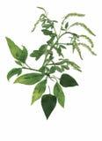 Trockene Herbariumanlagen Blumen- und Blattvektorillustration Stockfotografie