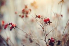 Trockene Herbstniederlassungen eines dogrose mit roten Früchten Lizenzfreie Stockbilder