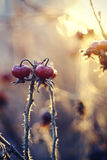 Trockene Herbstniederlassungen eines dogrose mit roten Früchten Stockbild