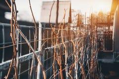 Trockene Himbeerbüsche nähern sich Metallzaun Lizenzfreie Stockbilder