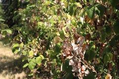 Trockene Himbeeren im Garten stockfotografie