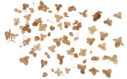 Trockene Hortensieblumen lizenzfreie stockfotos