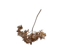 Trockene Hortensieblumen lizenzfreies stockfoto