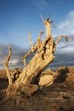 Trockene HU Yang Baumlandschaft Xinjiangs Lizenzfreie Stockfotos