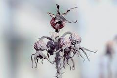 Trockene Hundrose von Hagebutten trägt auf einer Niederlassung Früchte Lizenzfreie Stockfotografie