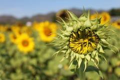 Trockene kleine Sonnenblume Lizenzfreie Stockbilder