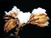 Trockene Knospe im Winter Stockfotografie
