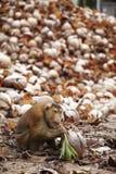 Trockene Kokosnuss und Affe Stockfotografie