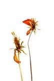 Trockene Kosmosblumen lokalisiert auf weißem Hintergrund Lizenzfreie Stockfotos