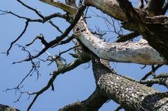 Trockene kranke Baumaste auf Hintergrund des blauen Himmels Lizenzfreie Stockfotos