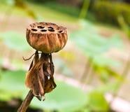 Trockene Lotosblume Stockbild