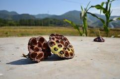 Trockene Lotosfrucht Lizenzfreie Stockbilder