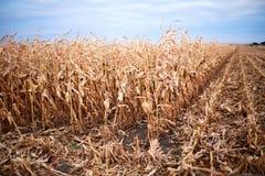 Trockene Mais- oder Maisanlagen auf einem Bauernhofgebiet Stockfotos