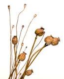 Trockene Mohnblumen Stockfotografie