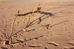 Trockene Niederlassung Browns Strauch geholt auf den sandigen Strand durch die stürmische Meeresströmung stockbilder