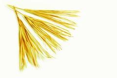 Trockene Niederlassung lokalisiertes Palmen-Grasunkraut des weißen Hintergrundes gelbes tropisches grasartig stockfoto