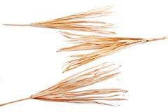 Trockene Niederlassung lokalisiertes Palmen-Grasunkraut des weißen Hintergrundes gelbes tropisches grasartig lizenzfreies stockbild