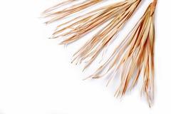 Trockene Niederlassung lokalisiertes Palmen-Grasunkraut des weißen Hintergrundes gelbes tropisches grasartig lizenzfreie stockfotografie