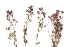 Trockene Niederlassungen der flachen Lage von Heide auf einem weißen Hintergrund Gemeine Ansicht des Calluna von oben Stockfotos