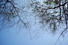 Trockene Niederlassungen des Schattenbildes des Baums Lizenzfreies Stockbild