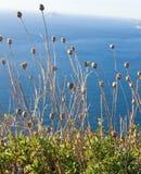 Trockene Niederlassungen mit Kegeln und Grün gegen das blaue Meer Stockfoto
