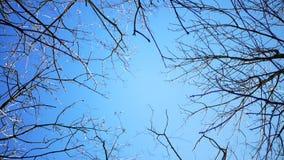 Trockene Niederlassungen von Bäumen ohne das Laub, das in den Wind gegen einen blauen Himmel beeinflußt stock video