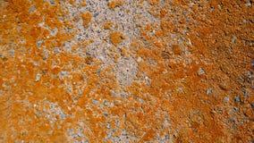 Trockene orange Flechte auf Zementwandhintergrund Stockfotos