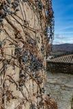 Trockene Rebtrauben auf alter Schlosswand Weinkellereidekoration, blaue Beeren und Niederlassungen ohne Blätter Stockfotografie