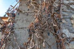 Trockene Rebtrauben auf alter Schlosswand Weinkellereidekoration, blaue Beeren und Niederlassungen ohne Blätter Stockfoto