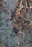 Trockene Rebtrauben auf alter Schlosswand Weinkellereidekoration, blaue Beeren und Niederlassungen ohne Blätter Lizenzfreies Stockfoto