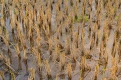 Trockene Reisbäume nach der Ernte Lizenzfreies Stockfoto