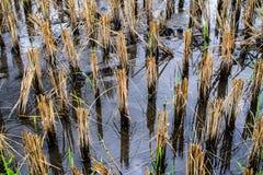 Trockene Reisbäume nach der Ernte brünieren Farbe Stockfotos