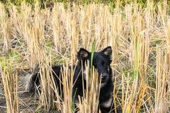 Trockene Reisbäume nach der Ernte und dem Hund Lizenzfreies Stockfoto