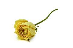 Trockene Rose lizenzfreies stockfoto
