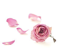 Trockene Rose getrennt auf weißem Hintergrund Stockbilder