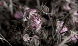 Trockene Rosen Stockbild