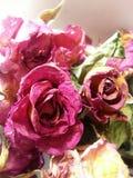 Trockene Rosen Stockfotografie