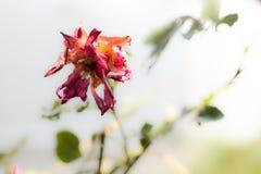Trockene Rosen Stockbilder