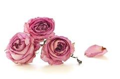 Trockene Rosen getrennt auf weißem Hintergrund Stockfotografie