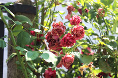 Trockene Rosen im Garten Stockfotografie