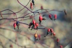 Trockene rote Hagebutte im Vorfrühling stockbilder